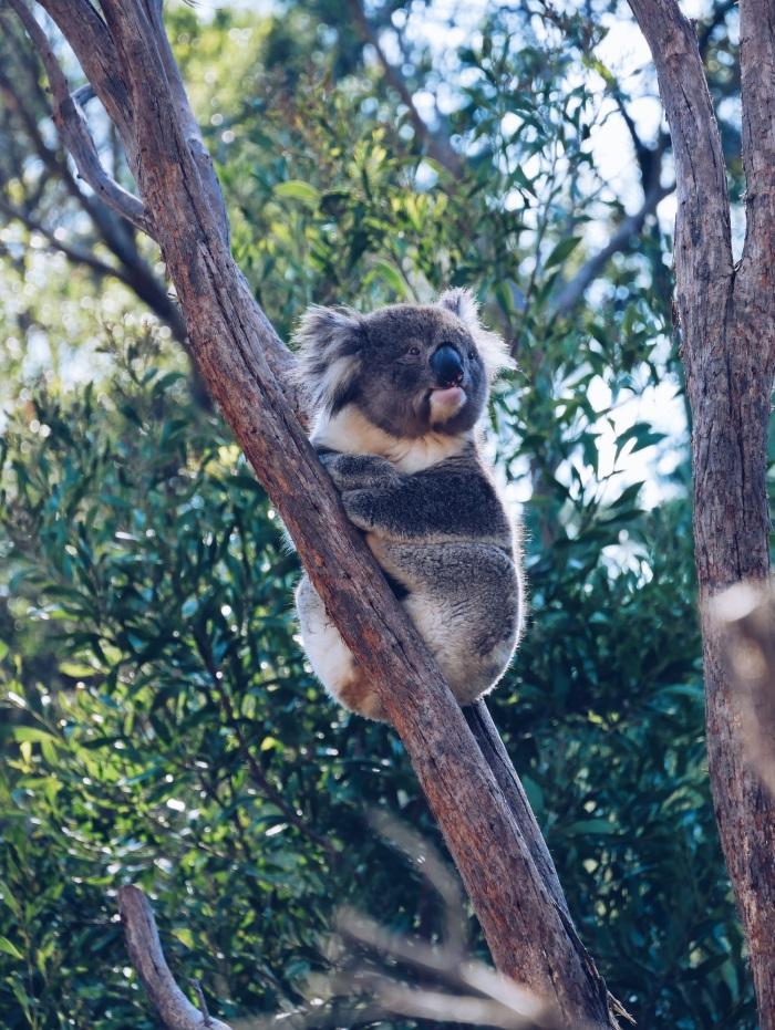 Koala Healesville Sanctuary Melbourne