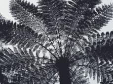 Dandenong Fern Trees